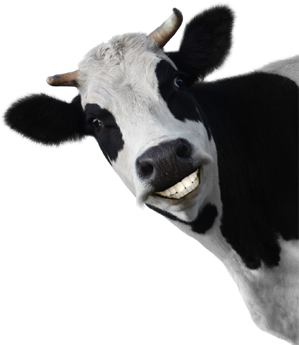 Funny cow smiling - photo#11